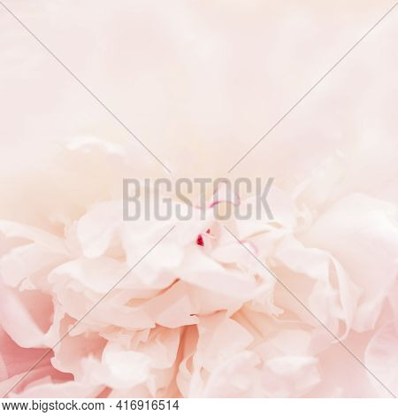 Beautiful Flowery From White Pink Petals Of Peony. Tender Summer Flower Close Up. Natural Environmen