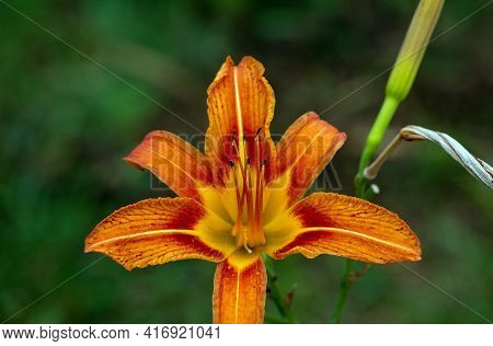 A Pretty Orange Daylily Contrasts Nicely Against A Defocused Green Background Giving A Feeling Of En