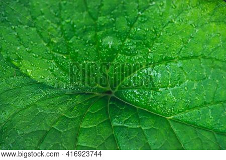 Vivid Natural Texture Of Wet Green Leaf With Veins. Minimalist Nature Background With Dew Drops On G