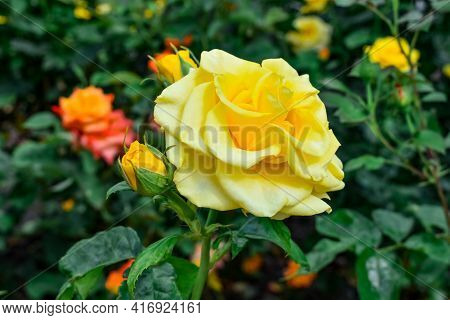 Yellow Rose Flower Of The Sphinx Gold Variety, Close-up. Beautiful Flowering Stem With A Bud Growing
