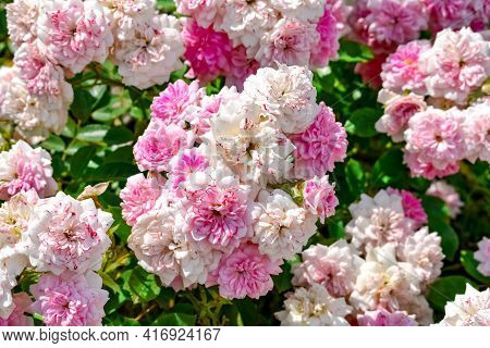 Delicate Inflorescences Of Pale Pink Roses Of Les Quatre Saisons Variety, Growing Outdoors In A Gard
