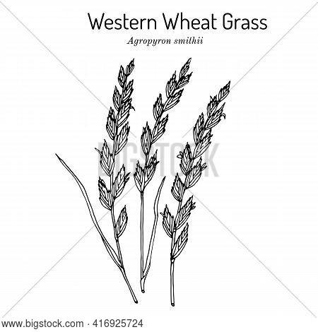 Western Wheat Grass Agropyron Smithii , Prairie Grass, State Grass Of South Dakota. Hand Drawn Botan