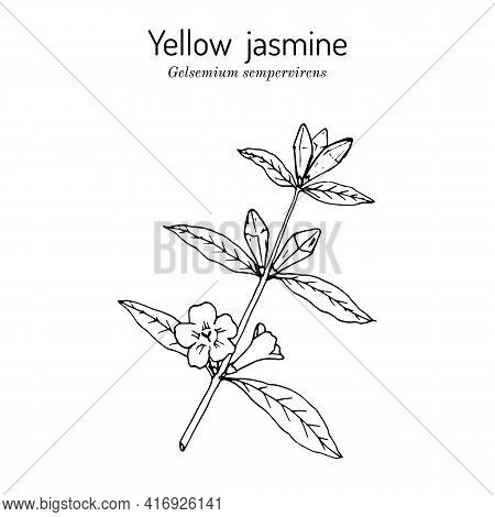 Yellow Jessamine, Carolina Jasmine, Evening Trumpetflower, Woodbine Gelsemium Sempervirens , Medicin