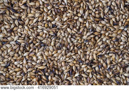 Close Up View Of Roasted Barley Grains. Ingredient For Beer Or Kvass. Background And Texture Of Frie