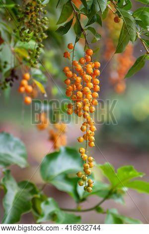 Tropical Plant Duranta Erecta (golden Dewdrop, Pigeon Berry, Skyflower) With Decorative Small Orange