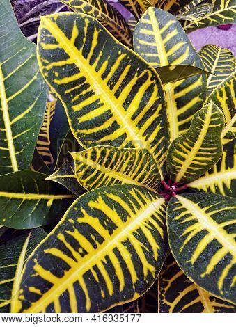 Close Up Macro Shot Of Bunch Of Leaves Of Codiaeum Variegatum Known As Fire Croton, Garden Croton, O