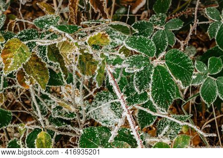 Green Frozen Leaves Background Symbolizing Cold Winter Mornings.first Frosts And Frozen Leaves. Bran
