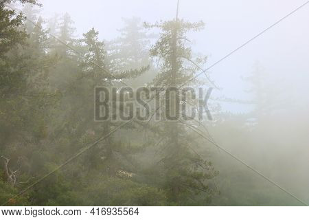 Lush Pine Trees Surrounded By Fog Taken At An Alpine Conifer Forest In The Rural San Gabriel Mountai