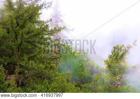Lush Pine Trees Surrounded By Fog Taken At An Alpine Conifer Forest On A Chilly Cold Day In The Rura
