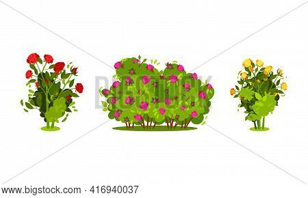 Bushes With Rose Flowers And Branched Stem As Perennial Woody Plant Vector Set