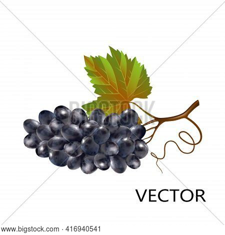 Bunch Of Blue Grapes In 3d Style Isolated On White Background Close-up. Dark Wine Grapes With Stem A