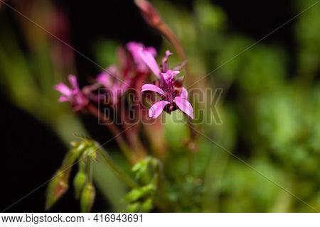 Flower Of A Pelargonium Ionidiflorum