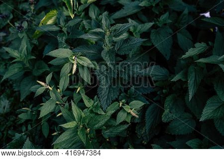 Close Up Of Nettle In Summertime. Texture Of Herbaceous Plant In Summer Season