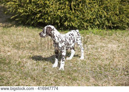 Dalmatian Puppy In A Meadow, Spring.sweet Cute Puppy Lying On A Green Lawn. Dalmatian Walking Outdoo
