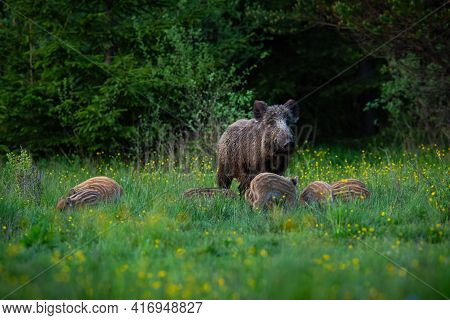 Wild Boar Female Guarding Her Striped Piglets While Feeding On A Green Meadow