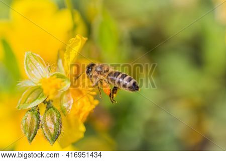 Honey Bee With Pollen Pellets Flight To Gather Nectar Flower. Animal Flying To Pollination. Importan