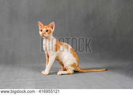 Portrait Of Devon Rex Cat Kitten Sitting Sideways On A Gray Background
