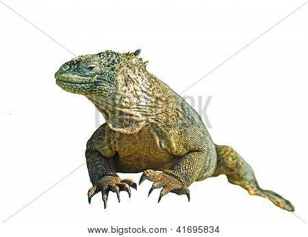 Iguana Isolaned Over White