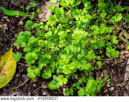 Small Green Herbs Known As Coriander (coriandrum Sativum), And Also As Chinese Parsley, Dhania Or Ci