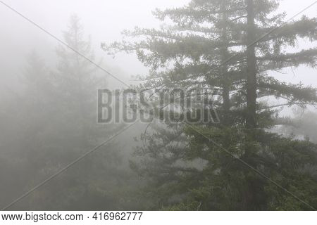 Lush Pine Trees Surrounded By Fog During A Rain Storm Taken At An Alpine Conifer Forest In The Rural