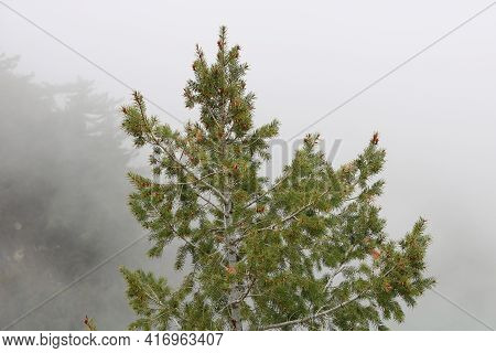 Fog Surrounding Pine Trees On A Mountainous Slope During A Rain Storm Taken At An Alpine Conifer For