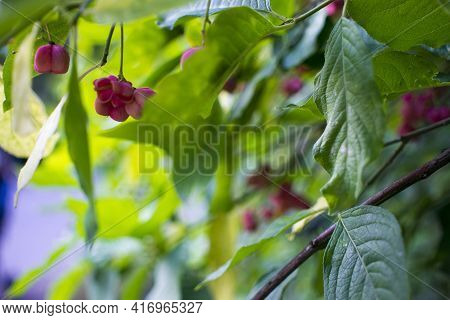 Deciduous Shrub, Pink Flowers With Orange Seeds Of Euonymus Europaeus Or Spindle. Celastraceae