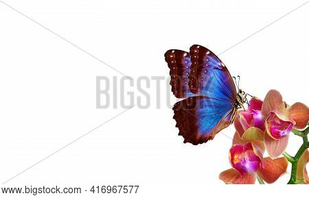 Tropical Nature. Bright Blue Tropical Morpho Butterfly On Colorful Orchid Flowers Isolated On White.