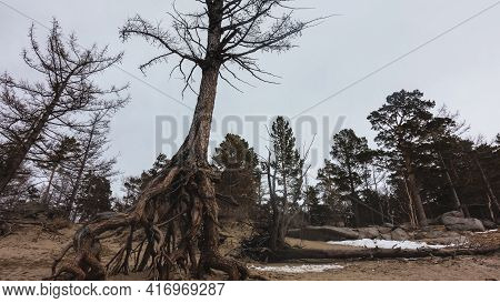 The Intricately Twisted Roots Of The Tree Rise Above The Sandy Soil. The Trunk Is Tilted. Bare Branc