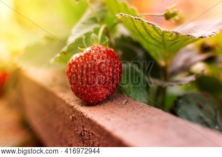 Close Up Ripe Strawberries In Vegetable Garden With Blurred Green Nature Background, Soft Focus In S