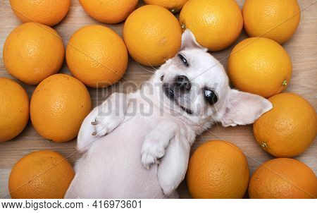 A Satisfied Chihuahua Dog, Covering One Eye, Smiling, Lies On Its Back Among Ripe Yellow Oranges. A