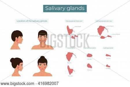 Vector Illustration Of The Parotid, Submandibular And Sublingual Salivary Glands. The Location Of Th