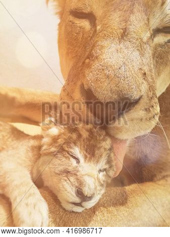 Lioness Licks The Lion Cub As A Sign Of Affection. Mother And Son Love Concept.