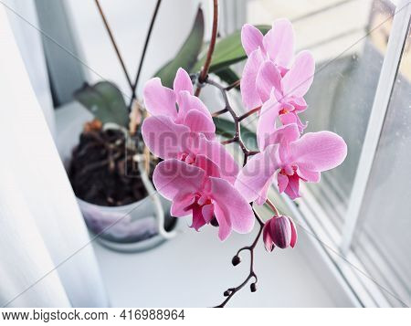 Purple Orchids Flower In The Pot On Windowsill. Spring And Summer Nature Background, Postcard Design