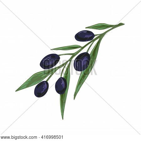 Olive Tree Branch With Black Fruits And Leaves. Mediterranean Plant With Fresh Vegetables. Italian O