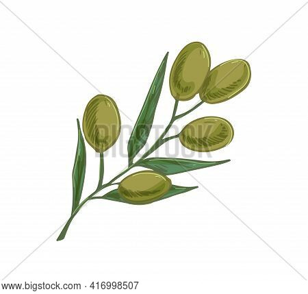 Branch Of Olive Tree With Green Fruits And Leaves. Italian Or Greek Plant With Vegetables. Mediterra