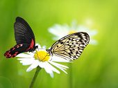 Exotic butterflies with daisy flower poster