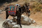 typical greek donkey with multicolor saddle standing in the mountains Crete island Greece. Donkeys are used for transportation on the island of Greece where cars are not allowed. poster