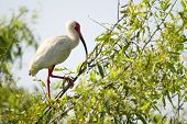 A white Ibis bird standing in a tree poster