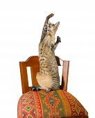 young grey oriental cat sitting on a beautiful eastern chair on its hind legs and catching something in the air poster