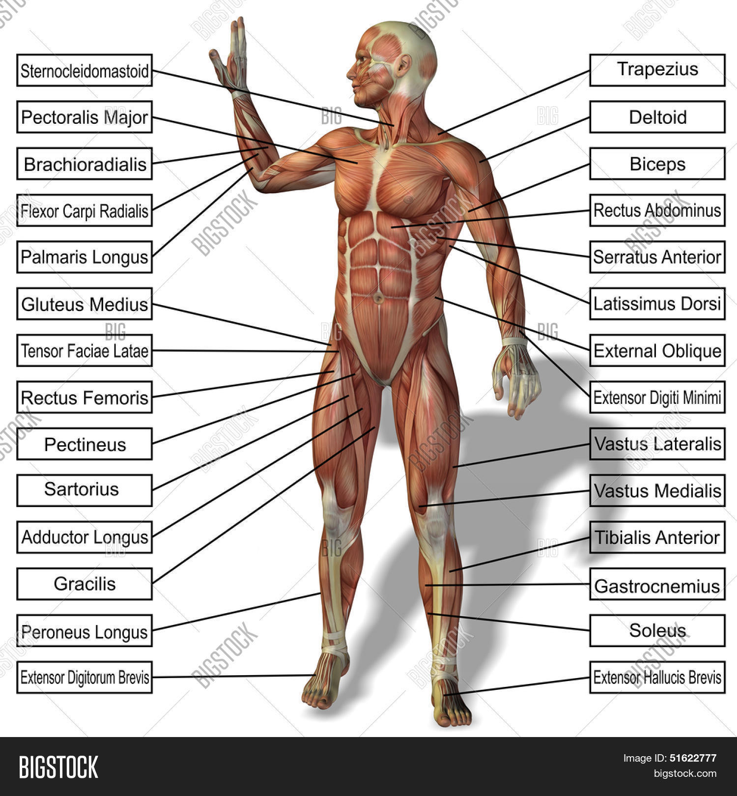 3d Male Human Anatomy Image Photo Free Trial Bigstock