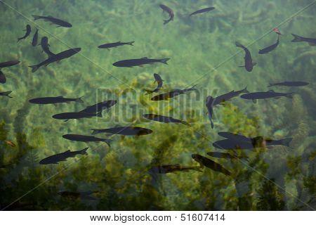 Fish in lake