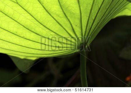 lotus flower leaf detail