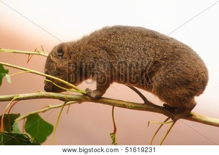 A Young Rock Hyrax