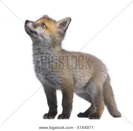 Red Fox Cub Looking Up (6 Weeks Old)- Vulpes Vulpes