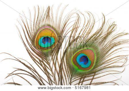 Cerca de pluma de pavo real