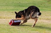Working German Shepherd dog sniffing a suspecting package for drugs or explosives. Note: there is motion blur in all of the dogs legs. poster