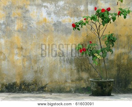 Solitary red rose bush in rustic pot against weathered, yellow wall.