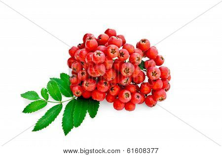 Rowan Red With Leaves