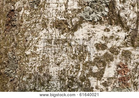 Gray-white bark of birch texture moss-covered brown poster