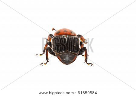 beetle with colored armor isolated on white. Sternocera aequisignata poster